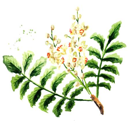 Kadidlovník pilovitý (Boswellia serrata extrakt)